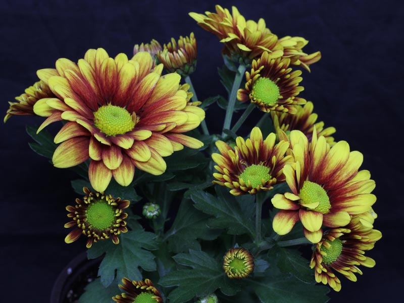 Chrysanthemum indicum braun gelb