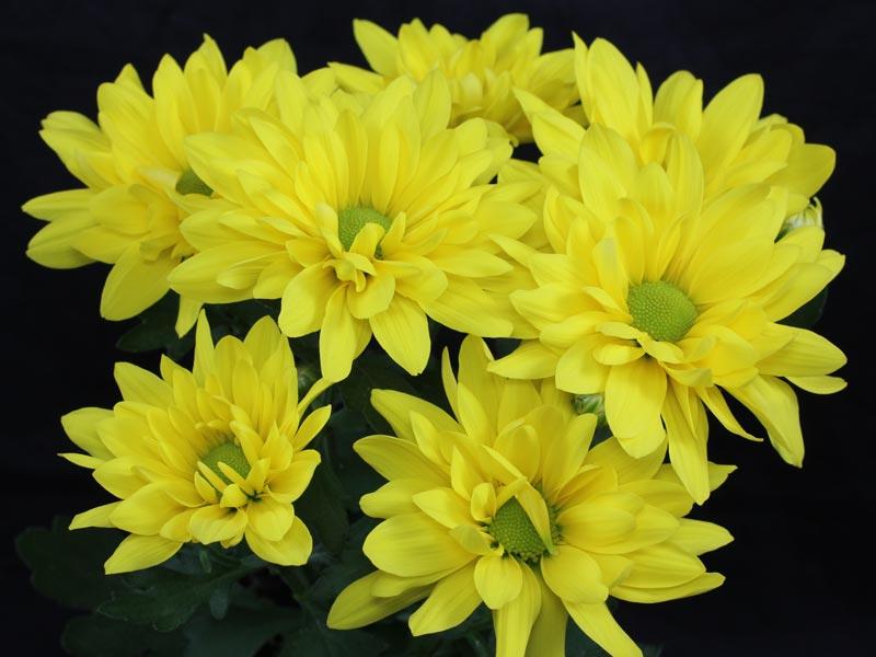 Chrysanthemum indicum gelb