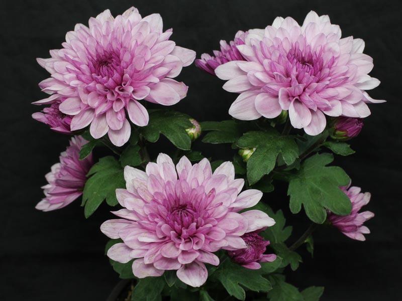 Chrysanthemum indicum rosa
