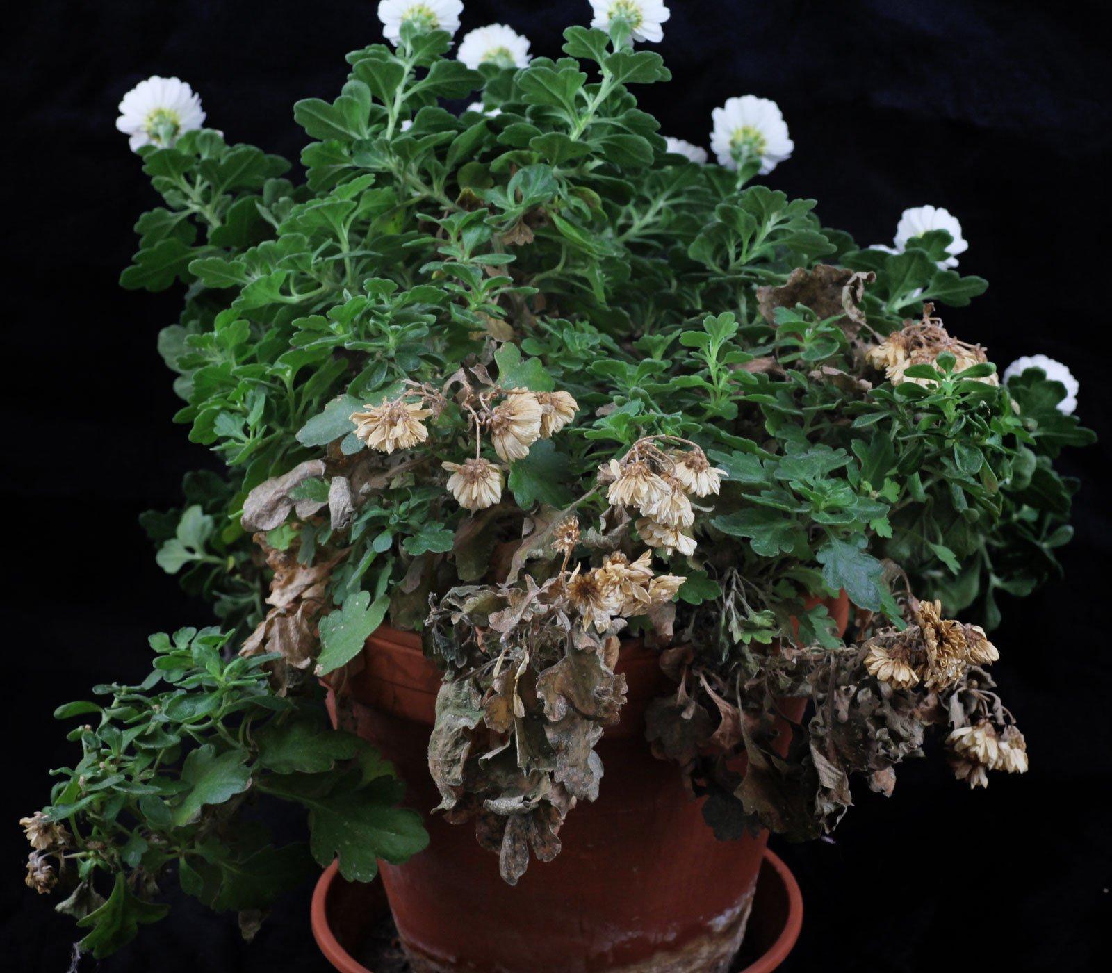 chrysanthemen pflege chrysanthemen pflege die. Black Bedroom Furniture Sets. Home Design Ideas