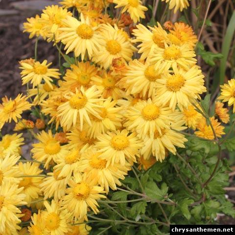 chrysanthemum × indicum goldmarianne
