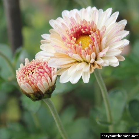 chrysanthemum julia