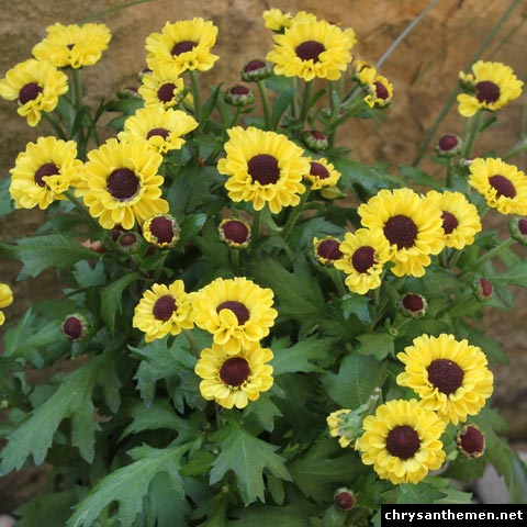 chrysanthemum vymini