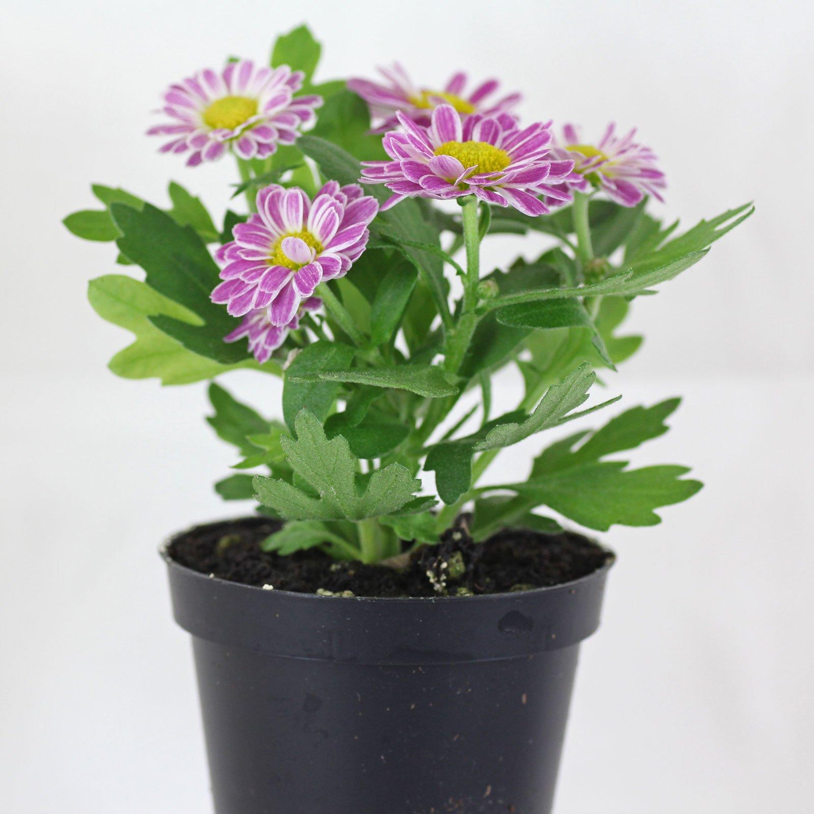 mini-chrysantheme