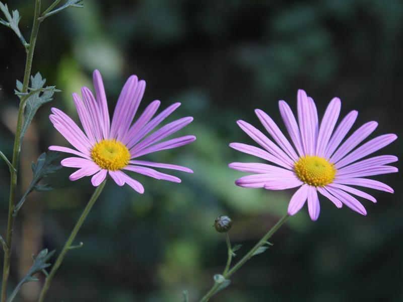 Chrysanthemum Clara Curtis