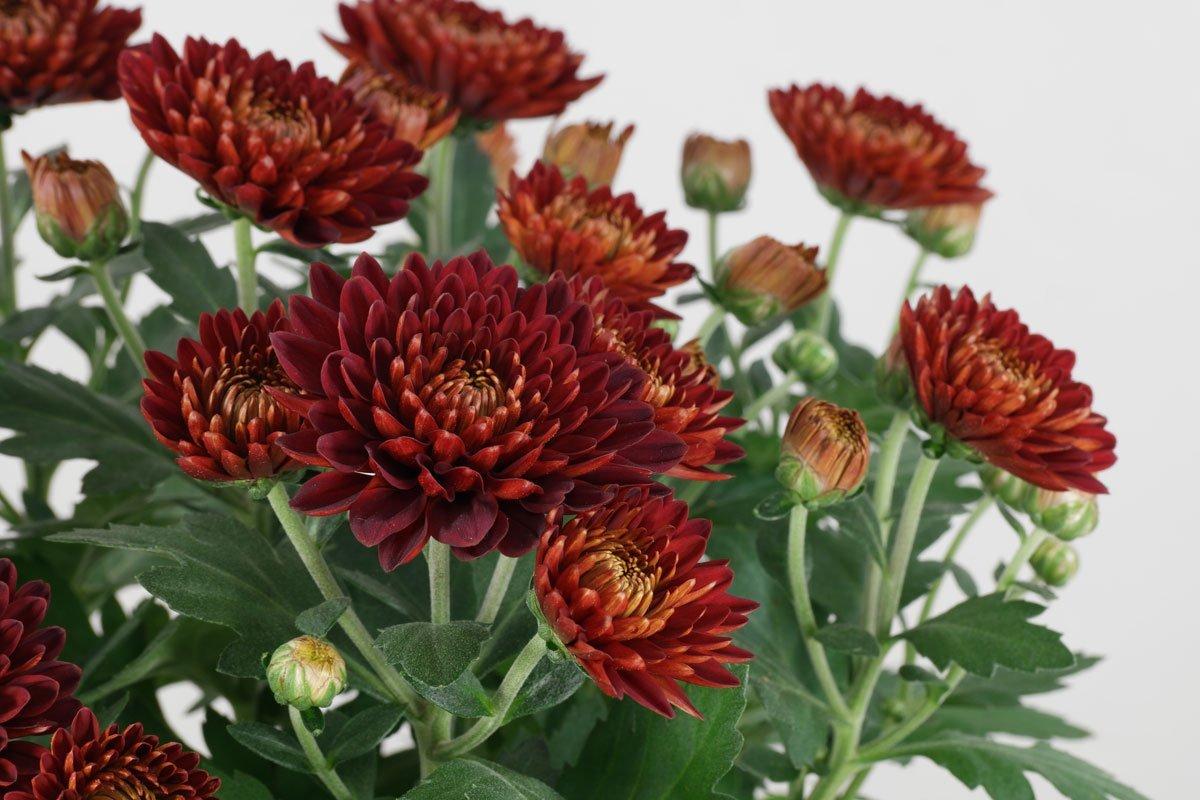 Chrysanthemum-indicum
