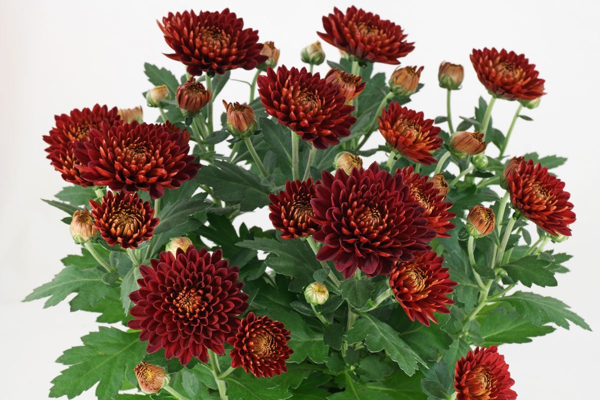 Chrysanthemumindicum