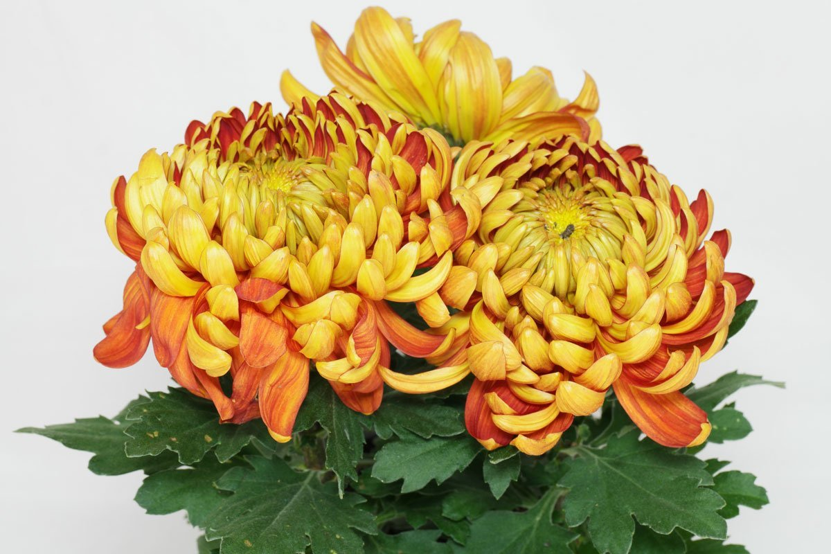 Deko-Chrysantheme