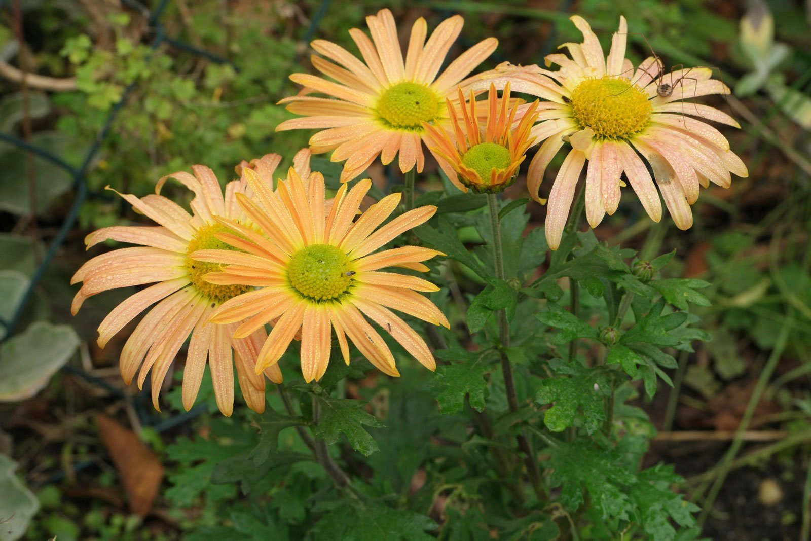 Chrysanthemum zawadskii Mary Stoker