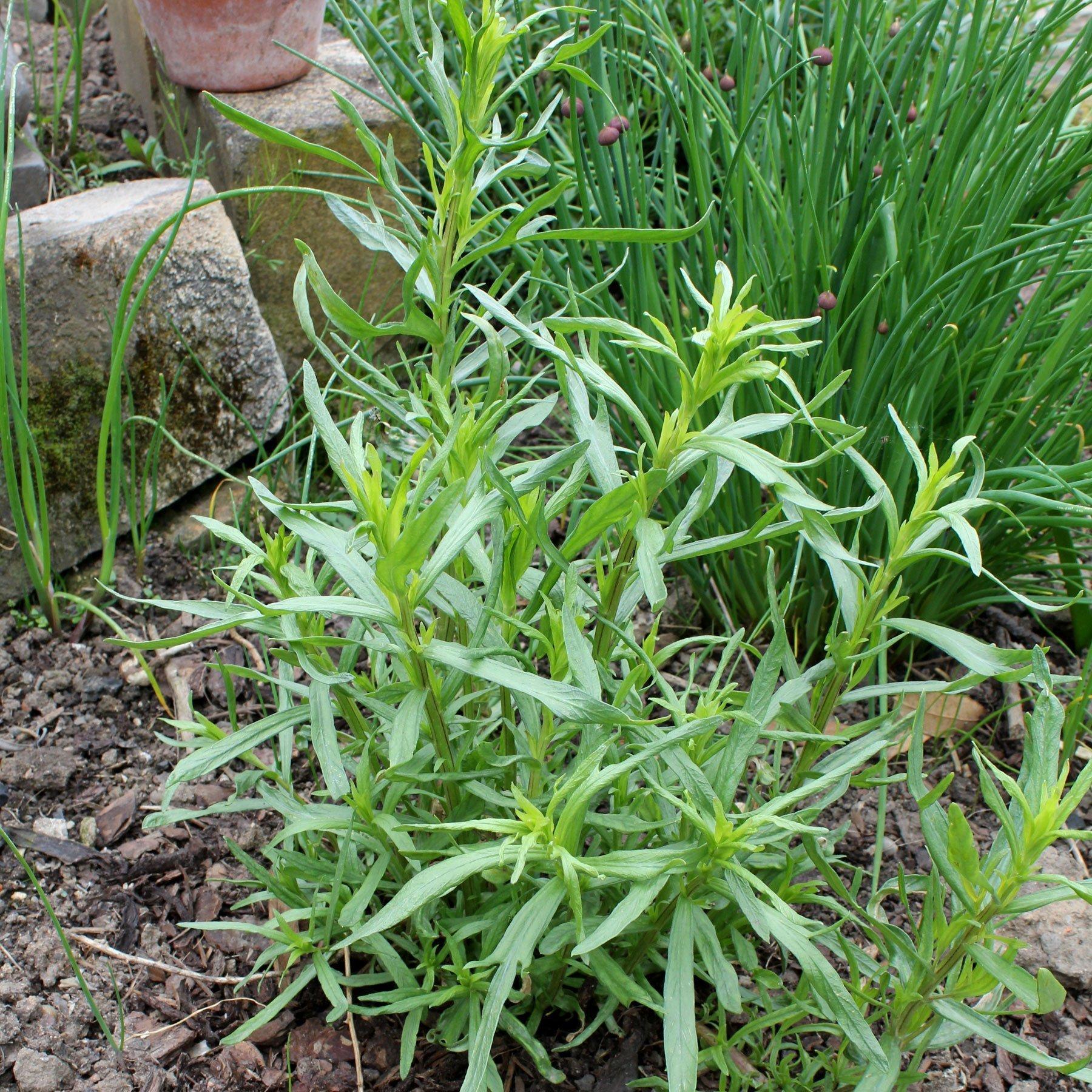 Estragon-Pflanze