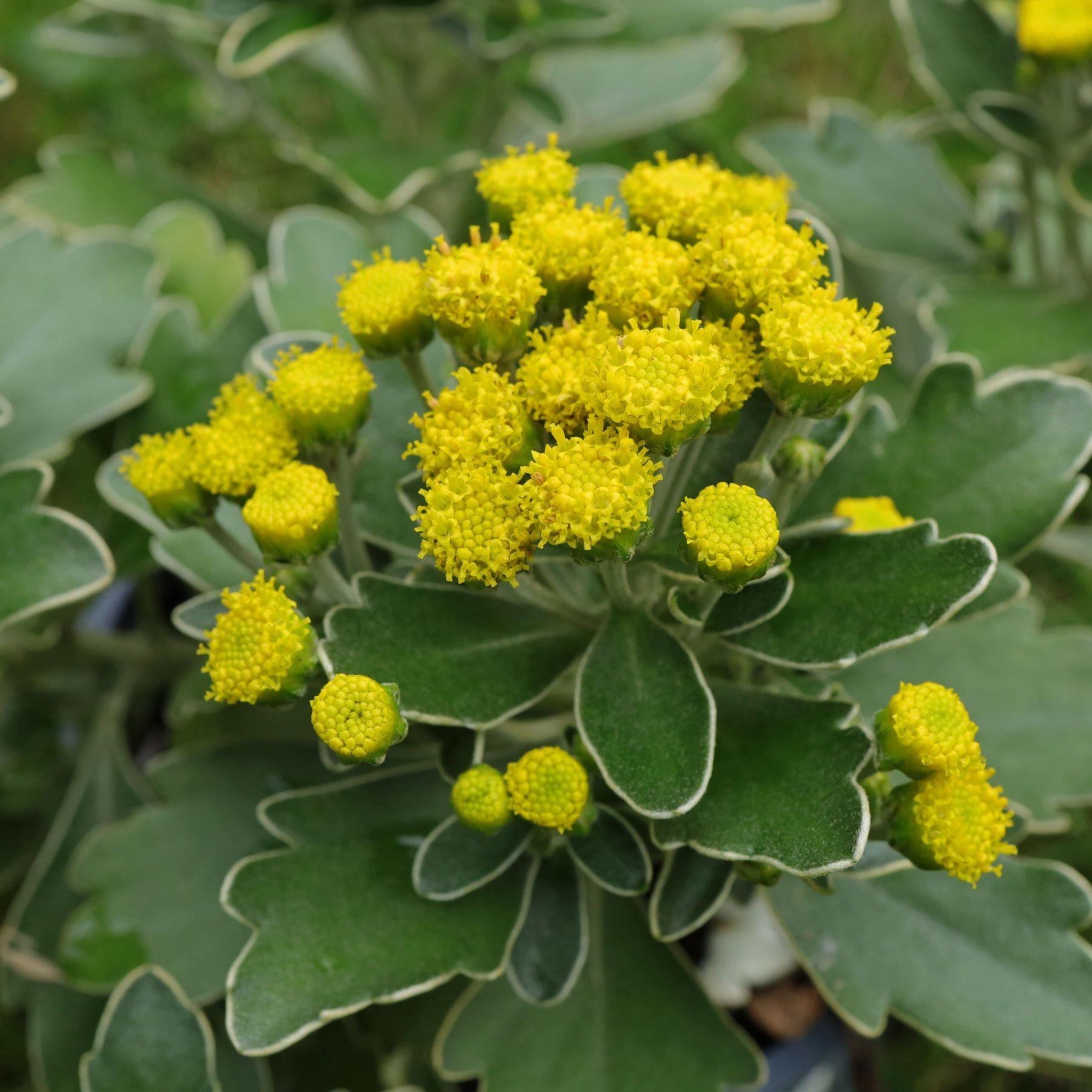 Gold-und-Silber-Chrysantheme