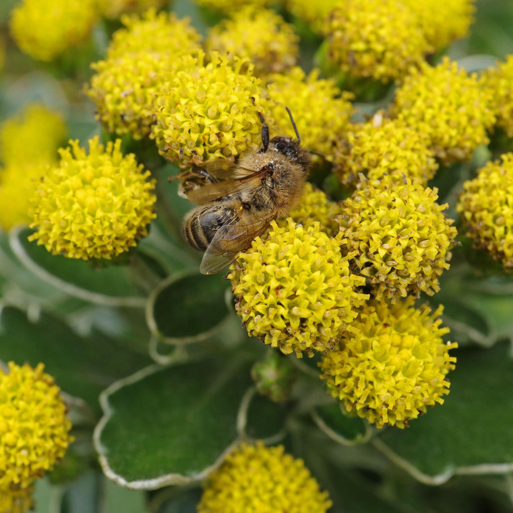 Honigbiene auf Silberrand-Chrysantheme